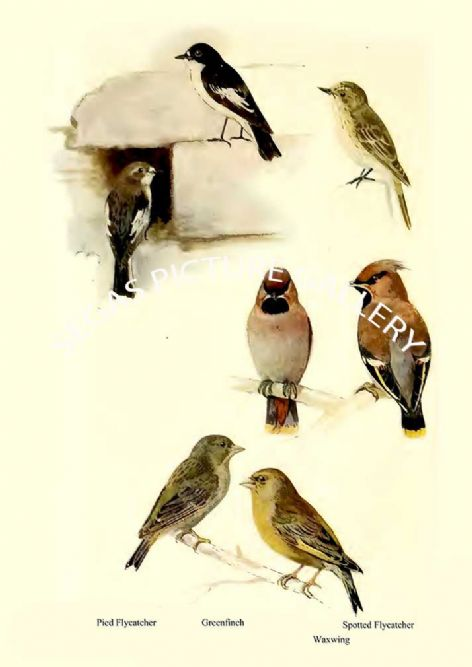 Fine art print of the Pied Flycatcher, Greenfinch, Spotted Flycatcher & Waxwing by William Foster (1922)